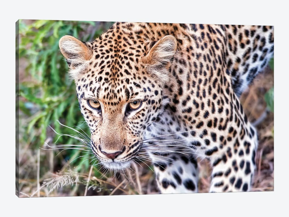 Leopard Close Up by MScottPhotography 1-piece Canvas Artwork