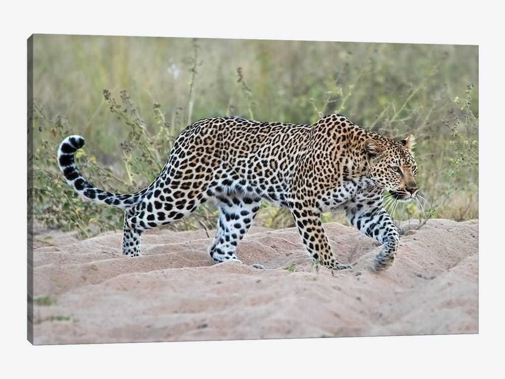 Leopard Walking by MScottPhotography 1-piece Art Print