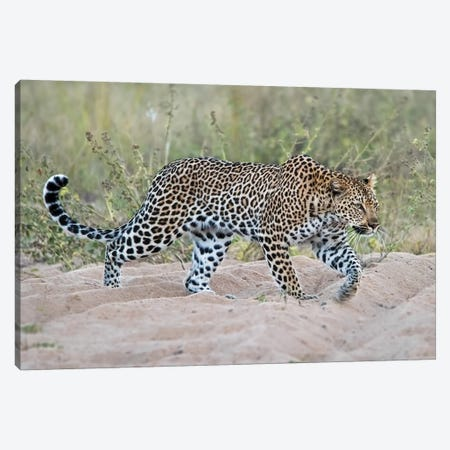 Leopard Walking Canvas Print #MPH76} by MScottPhotography Art Print