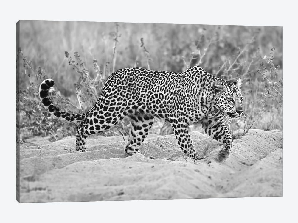 Leopard Walking In Black And White by MScottPhotography 1-piece Canvas Wall Art