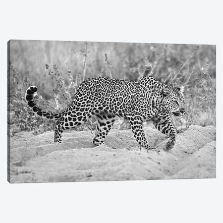 Leopard Walking In Black And White Canvas Print #MPH77} by MScottPhotography Art Print