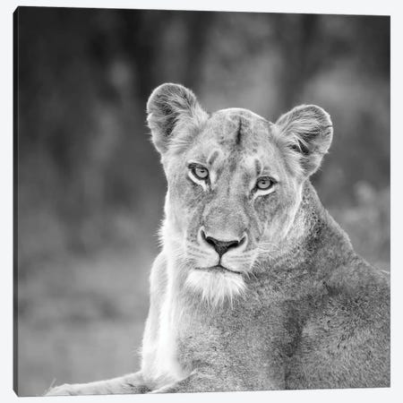 Lioness In Black And White Canvas Print #MPH79} by MScottPhotography Canvas Art