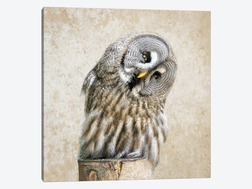 Barred Owl by MScottPhotography 1-piece Canvas Art