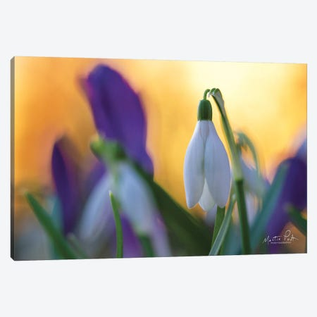 Snowdrop at Sunset Canvas Print #MPO101} by Martin Podt Canvas Artwork