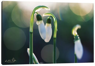 Snowdrops I  Canvas Art Print