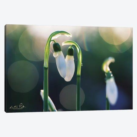 Snowdrops I  Canvas Print #MPO102} by Martin Podt Canvas Artwork