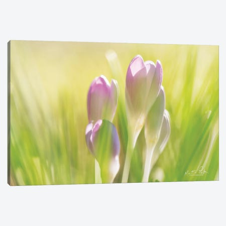 Soft Crocus Canvas Print #MPO104} by Martin Podt Canvas Art Print