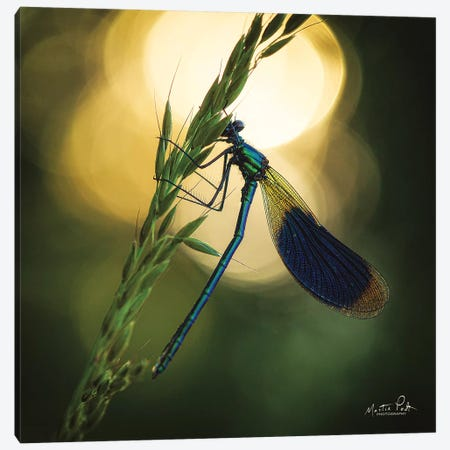 Damselfly In Backlight Canvas Print #MPO124} by Martin Podt Canvas Print