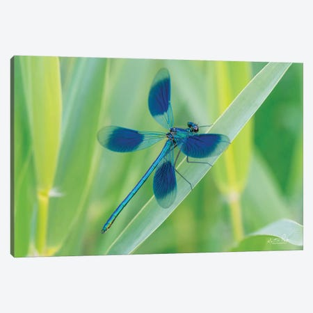Damselfly In Blue Canvas Print #MPO125} by Martin Podt Canvas Print