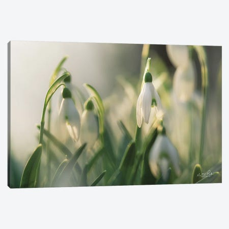 Snowdrops Canvas Print #MPO138} by Martin Podt Canvas Print