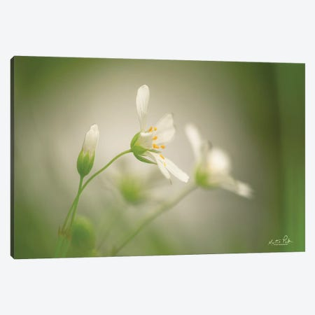 Stellaria Canvas Print #MPO139} by Martin Podt Canvas Art Print