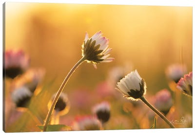 Daisies Canvas Art Print