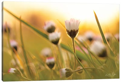 Daisy At Sunset Canvas Art Print