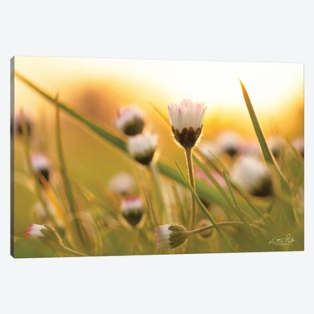 Daisy At Sunset Canvas Print #MPO151} by Martin Podt Canvas Art Print