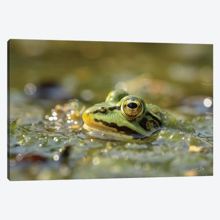 Frog Canvas Print #MPO152} by Martin Podt Canvas Art Print
