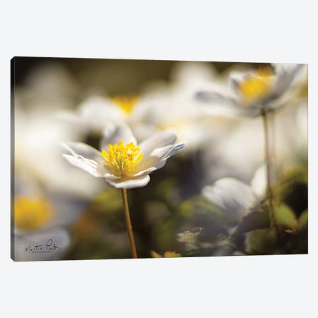 Anemone Up Close Canvas Print #MPO2} by Martin Podt Canvas Art Print