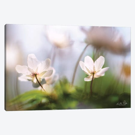 Anemones Canvas Print #MPO3} by Martin Podt Canvas Print