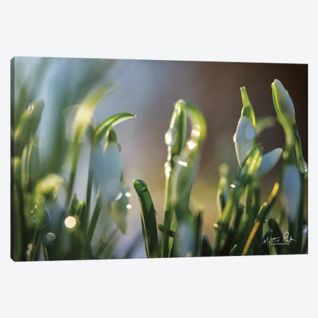 Snowdrops II Canvas Print #MPO81} by Martin Podt Canvas Art