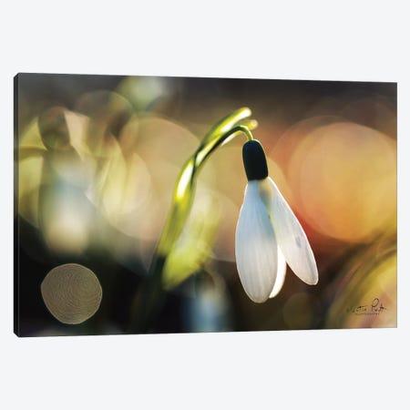 Snowdrops III Canvas Print #MPO82} by Martin Podt Canvas Artwork