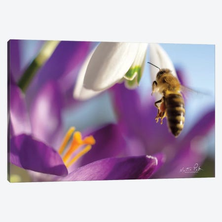 Bee I Canvas Print #MPO91} by Martin Podt Canvas Print