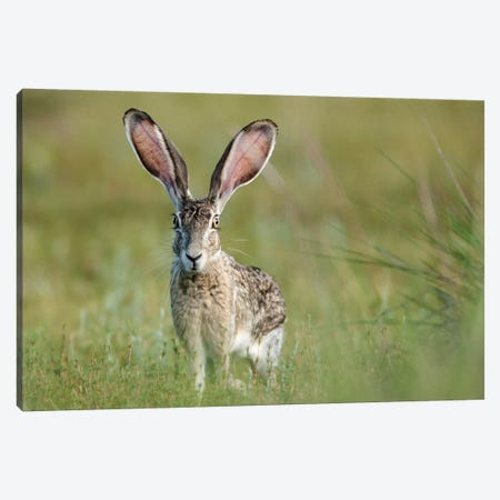 Black-tailed jackrabbit, Lepus californicus, Welder Flats, Texas Canvas Print #MPR11} by Maresa Pryor Canvas Artwork