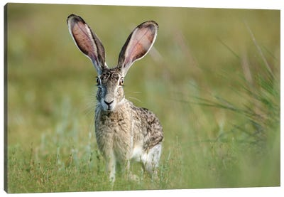 Black-tailed jackrabbit, Lepus californicus, Welder Flats, Texas Canvas Art Print