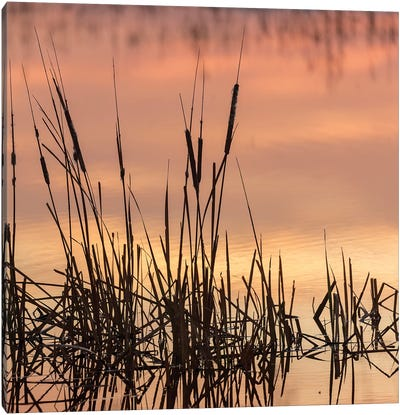 Cattails at sunrise, Bosque del Apache National Wildlife Refuge, New Mexico Canvas Art Print