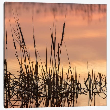 Cattails at sunrise, Bosque del Apache National Wildlife Refuge, New Mexico Canvas Print #MPR12} by Maresa Pryor Canvas Artwork
