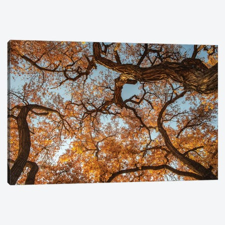 Cottonwood trees in fall foliage, Rio Grande Nature Park, Albuquerque, New Mexico Canvas Print #MPR13} by Maresa Pryor Canvas Artwork