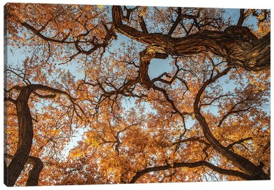 Cottonwood trees in fall foliage, Rio Grande Nature Park, Albuquerque, New Mexico Canvas Art Print