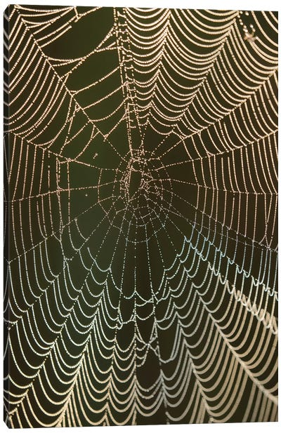 Morning dew on a spider web, Cameron Prairie National Wildlife Refuge, Louisiana Canvas Art Print
