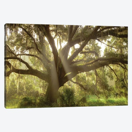 Beautiful Southern Live Oak tree, Flordia Canvas Print #MPR2} by Maresa Pryor Canvas Art Print