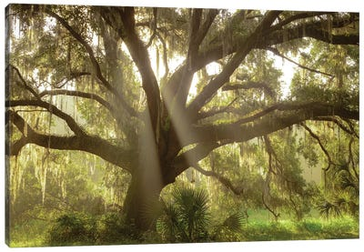 Beautiful Southern Live Oak tree, Flordia Canvas Art Print