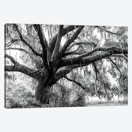 Beautiful Southern Live Oak tree, Flordia  Canvas Print #MPR3} by Maresa Pryor Canvas Art Print
