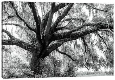 Beautiful Southern Live Oak tree, Flordia  Canvas Art Print