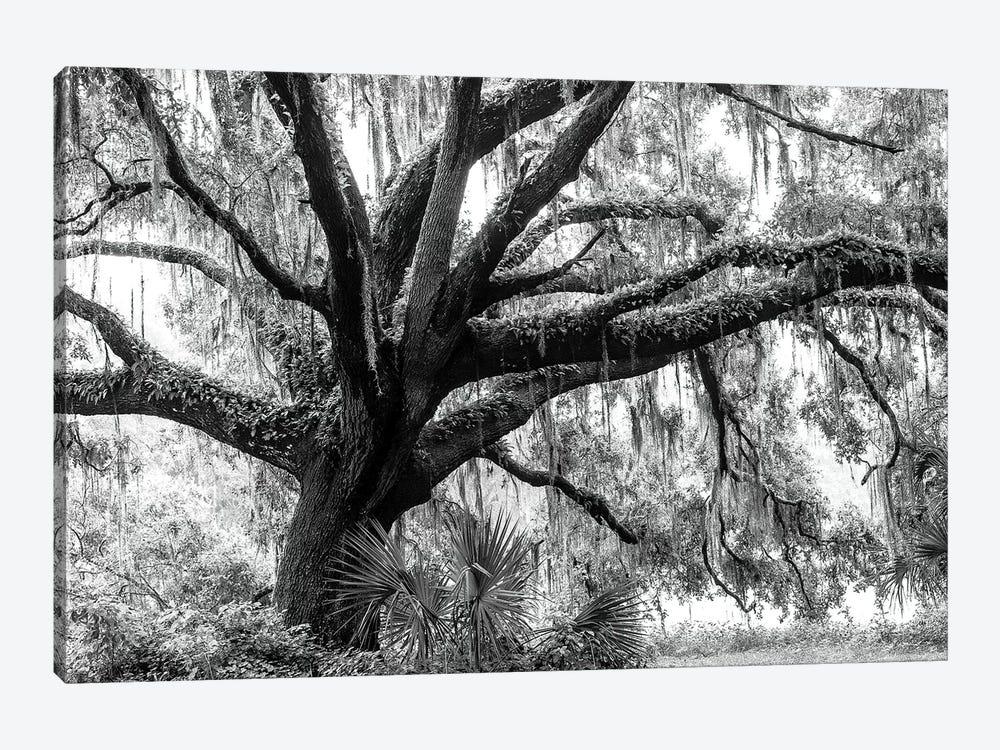 Beautiful Southern Live Oak tree, Flordia  by Maresa Pryor 1-piece Canvas Artwork