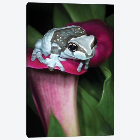 Blue milk frog on a flower Canvas Print #MPR4} by Maresa Pryor Canvas Artwork