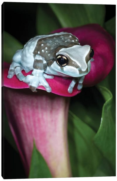 Blue milk frog on a flower Canvas Art Print