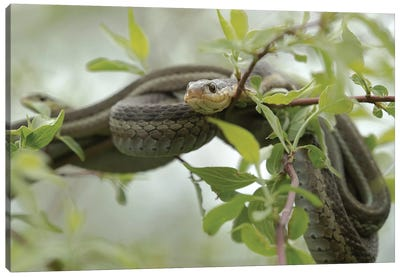 Eastern Garter Snakes mating, Ottawa National Wildlife Refuge, Ohio  Canvas Art Print