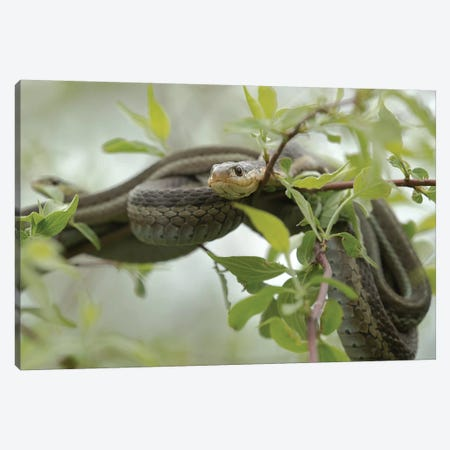 Eastern Garter Snakes mating, Ottawa National Wildlife Refuge, Ohio  Canvas Print #MPR5} by Maresa Pryor Canvas Artwork