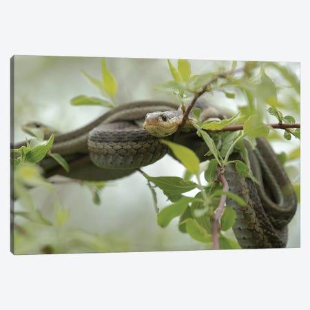 Eastern Garter Snakes mating, Ottawa National Wildlife Refuge, Ohio  Canvas Print #MPR5} by Maresa Pryor Canvas Artwork