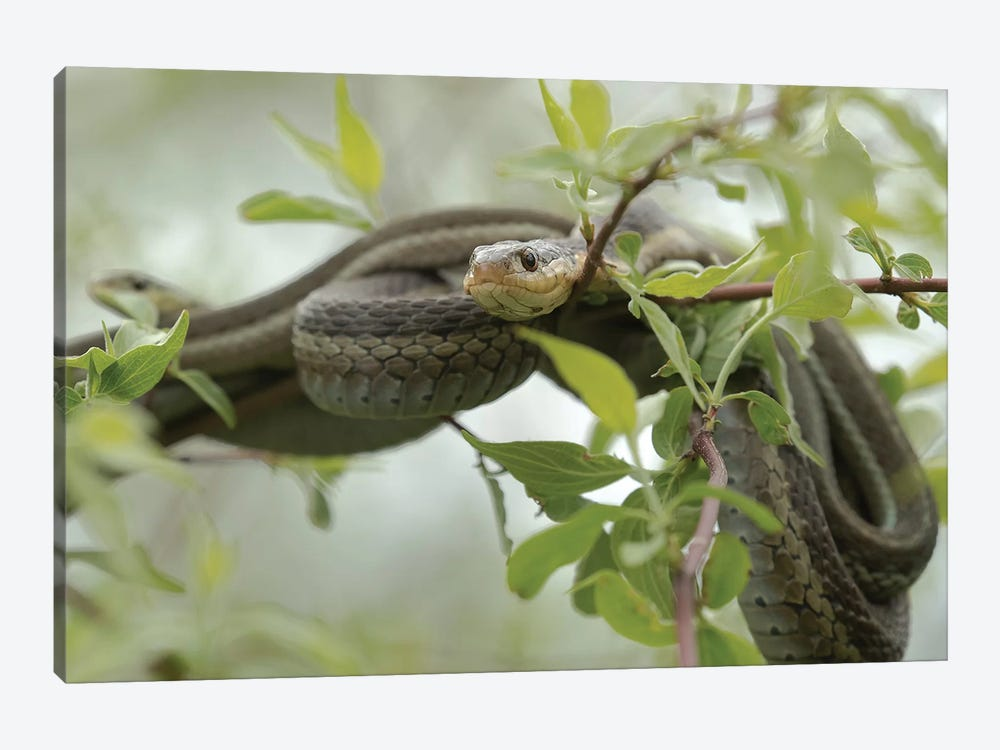 Eastern Garter Snakes mating, Ottawa National Wildlife Refuge, Ohio  by Maresa Pryor 1-piece Canvas Art