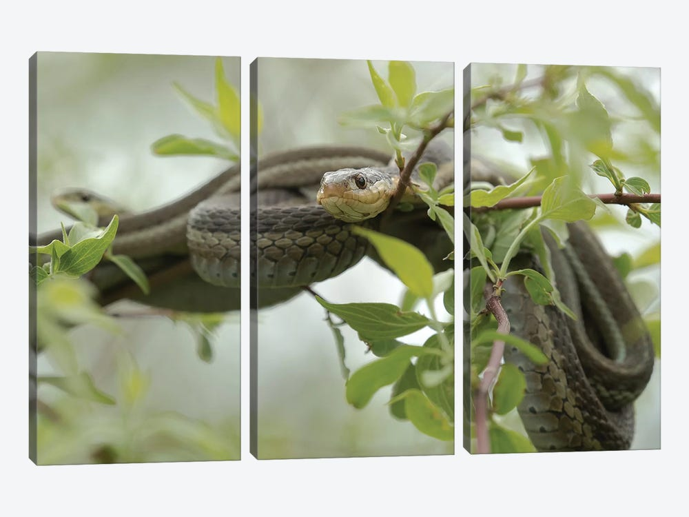 Eastern Garter Snakes mating, Ottawa National Wildlife Refuge, Ohio  by Maresa Pryor 3-piece Canvas Artwork