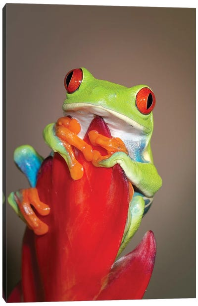 Red-eyed tree frog I Canvas Art Print