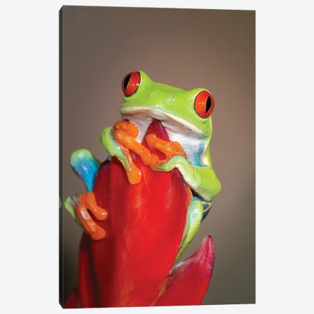 Red-eyed tree frog I Canvas Print #MPR8} by Maresa Pryor Art Print