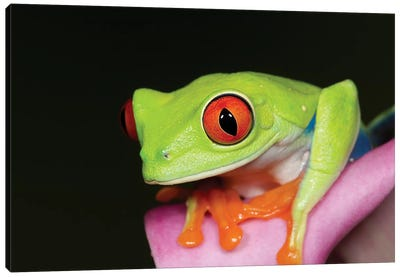 Red-eyed tree frog II Canvas Art Print