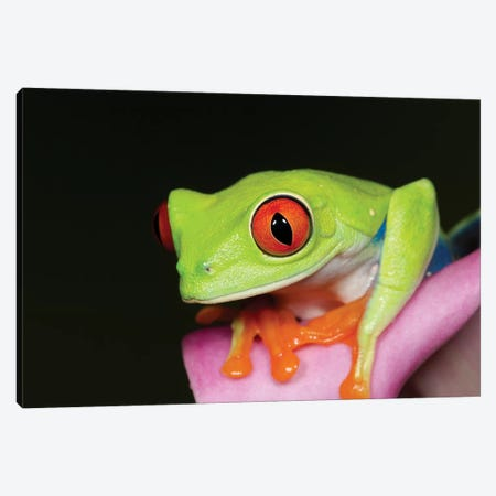 Red-eyed tree frog II Canvas Print #MPR9} by Maresa Pryor Art Print