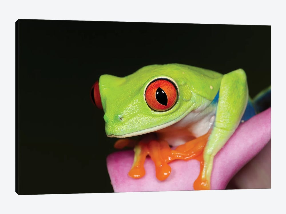Red-eyed tree frog II by Maresa Pryor 1-piece Canvas Artwork