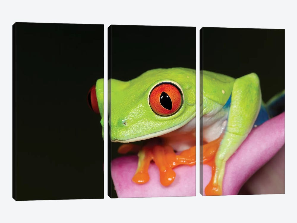 Red-eyed tree frog II by Maresa Pryor 3-piece Canvas Art