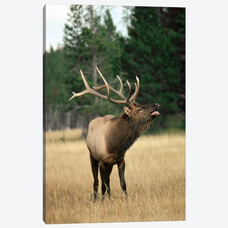 Elk Male Bugling During Rut In The Fall, Yellowstone National Park, Wyoming Canvas Print #MQU10} by Michael Quinton Canvas Artwork